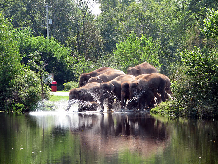 Canada Ontario Photos :: African Lion Safari :: African Lion Safari. Elephants swim