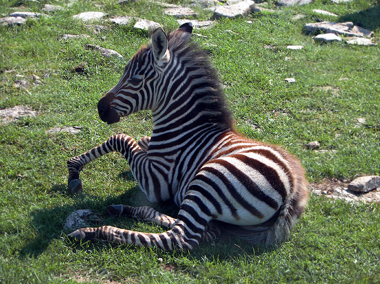 Canada Ontario Photos :: African Lion Safari :: African Lion Safari - a little zebra