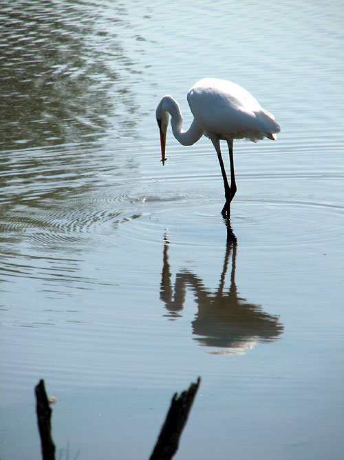 World Travel Photos :: Reflections :: African Lion Safari - a crane