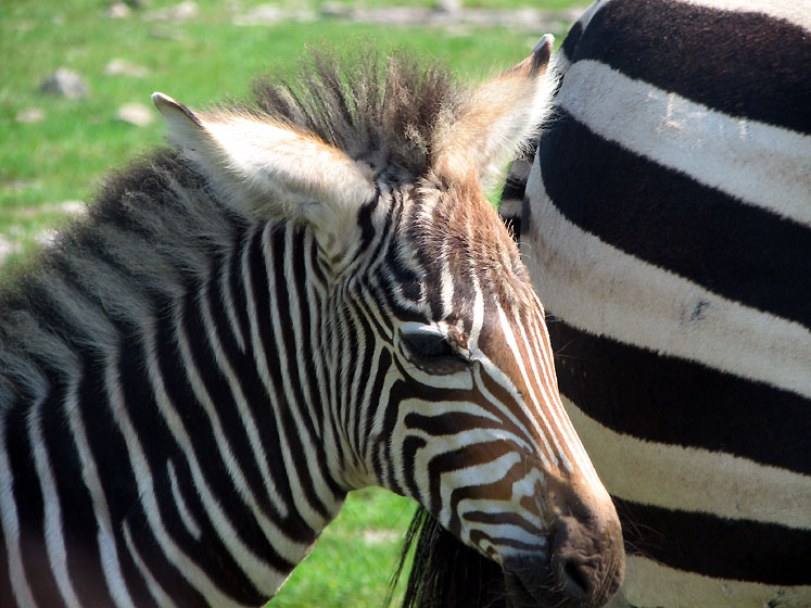 Canada Ontario Photos :: African Lion Safari :: African Lion Safari - a little zebra with its mom