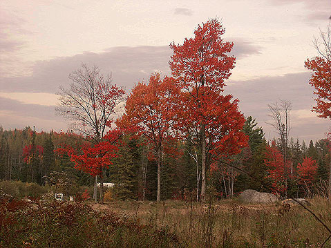 Canada Ontario Photos :: RomKri :: Algonquin Park. Canadian Red Maples