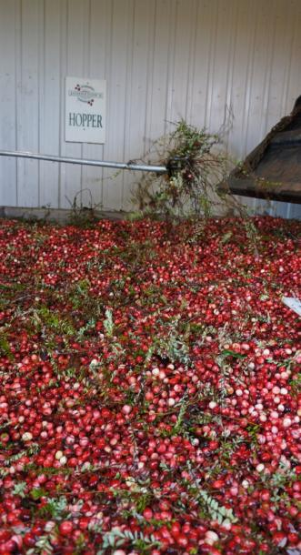 Canada Ontario Photos :: Bala :: Cranberries in the Hopper at Johnston´s Cranberry Marsh Bala