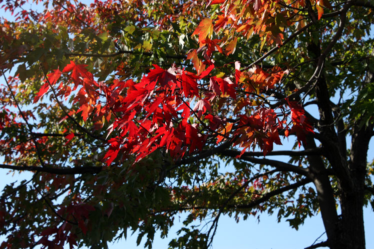 Canada Ontario Photos :: Bala :: Bala - red leaves