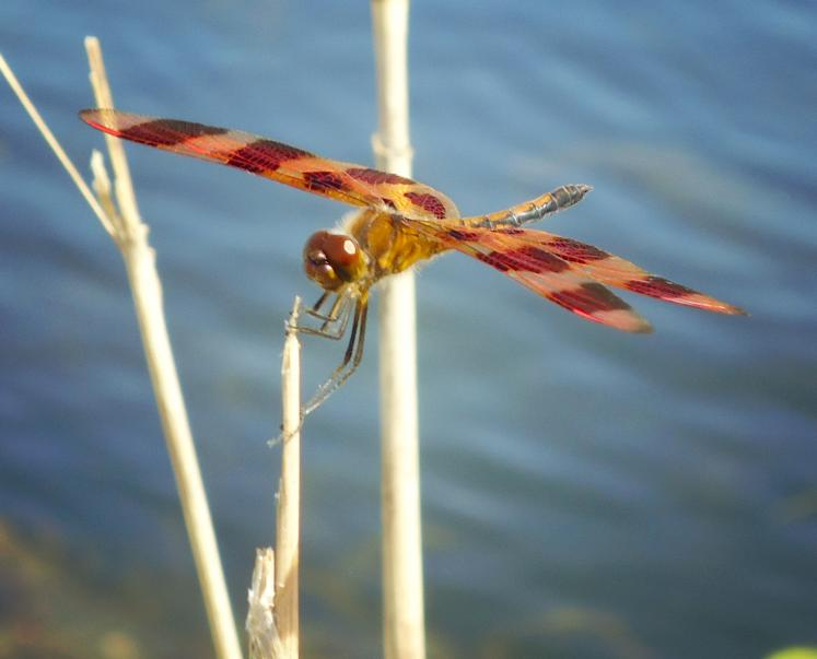 Canada Ontario Photos :: Belleville :: A dragonfly - a random nature pictures