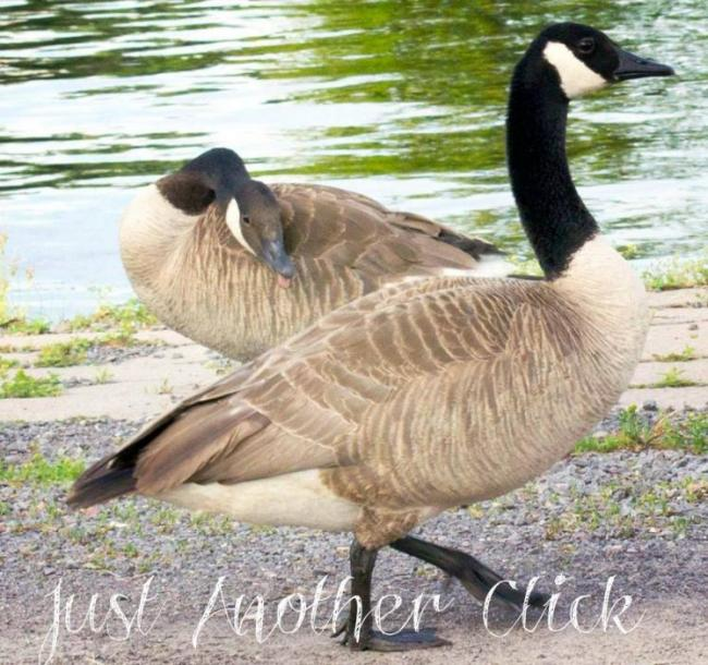 Canada Ontario Photos :: THERESA :: Belleville. Geese mocking me