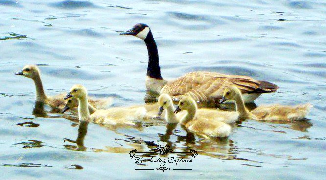 Canada Ontario Photos :: Belleville :: GEESE AND BABIES