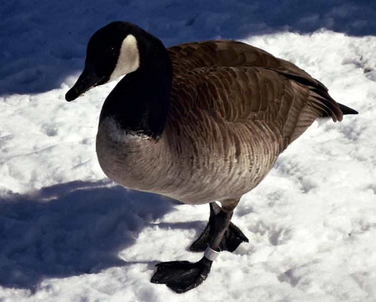Canada Ontario Photos :: Belleville :: Geese in Belleville close ups