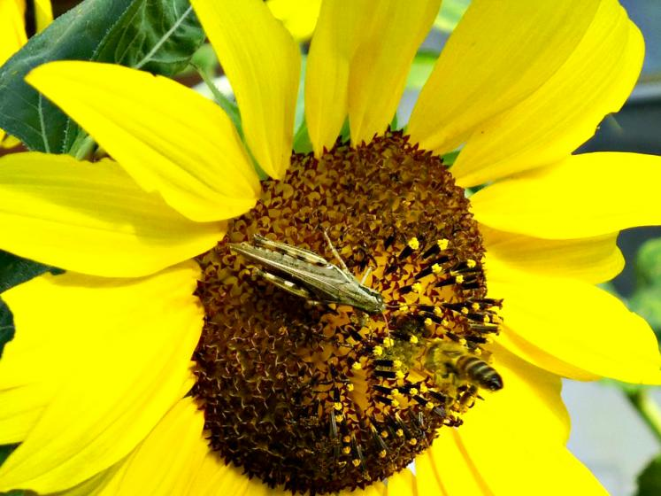 Canada Ontario Photos :: Belleville :: Grasshopper on a sunflower