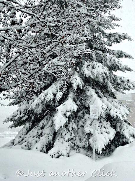 Canada Ontario Photos :: Belleville :: Winter snow on a tree