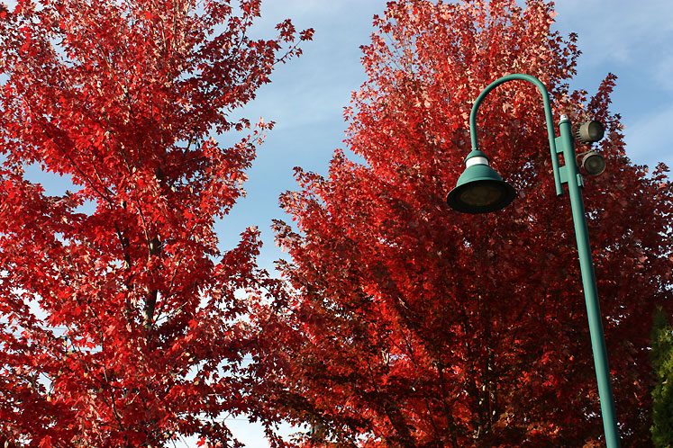 Canada Ontario Photos :: Bracebridge :: Bracebridge - red maple trees