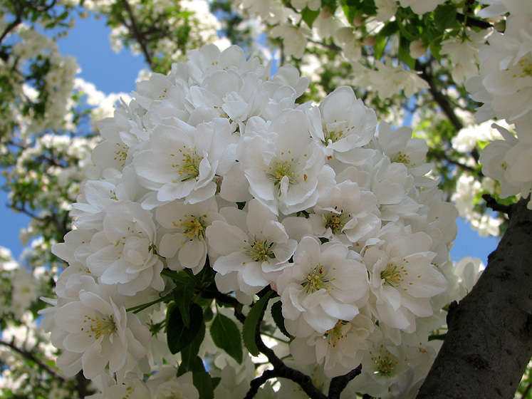 World Travel Photos :: Colors - Blanc :: Ontario, Burlington. Royal Botanical Gardens - a blooming apple tree