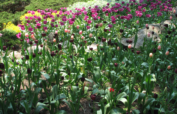 Canada Ontario Photos :: Alec :: Royal Botanical Gardens - colorful tulips