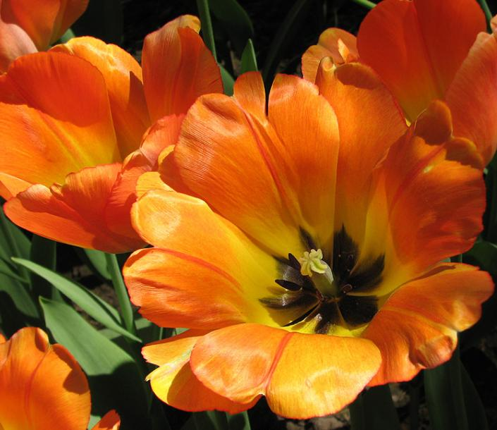 Canada Ontario Photos :: Burlington - Royal Botanical Gardens :: Royal Botanical Gardens - orange tulips