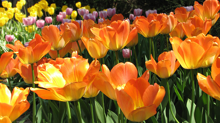 Canada Ontario Photos :: Alec :: Royal Botanical Gardens - orange tulips at the foreground