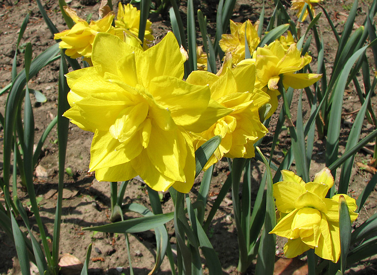 Canada Ontario Photos :: Alec :: Royal Botanical Gardens - yellow daffodils
