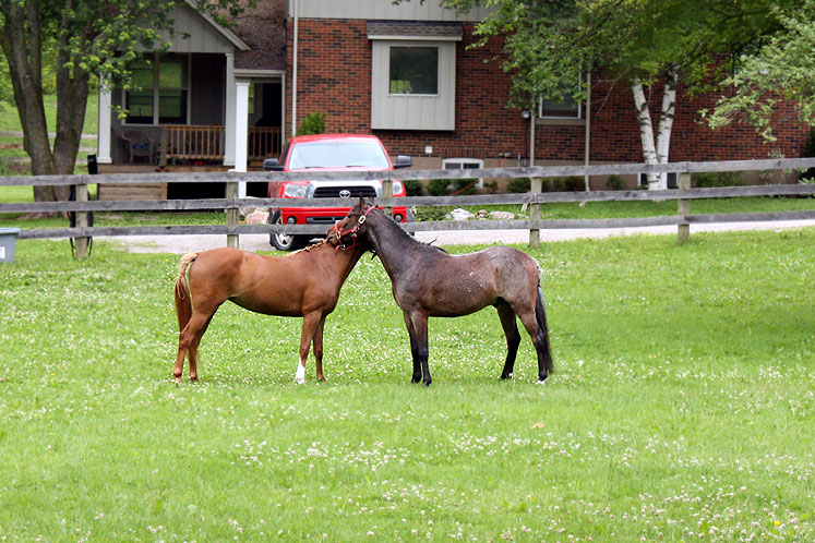 Canada Ontario Photos :: Burlington :: Burlington. Horses in Lowville Park