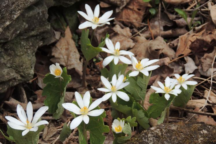 Canada Ontario Photos :: Crawford Lake Park :: Crawford. April primroses