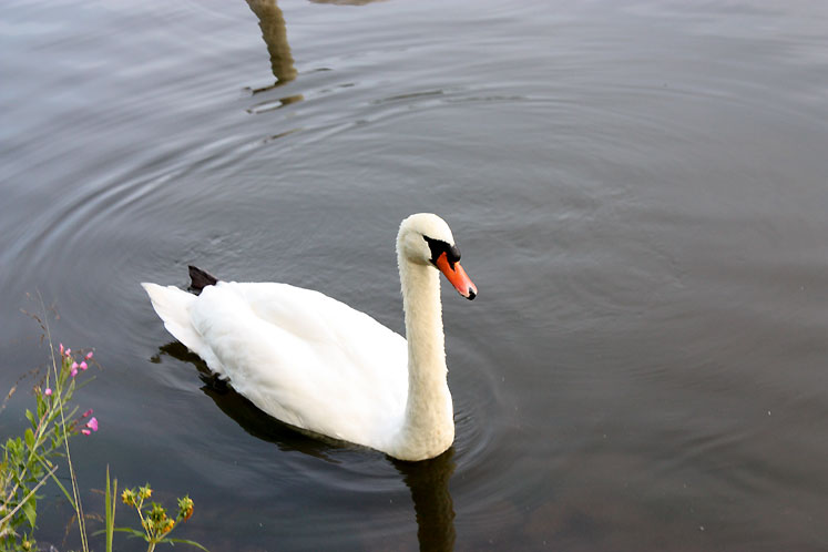 Canada Ontario Photos :: Elora :: Elora - a white swan in the pond