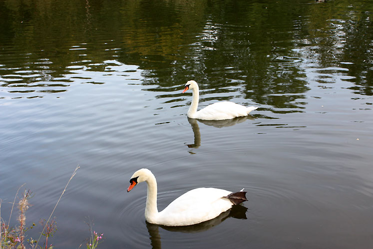 Canada Ontario Photos :: Elora :: Elora - swans in the pond