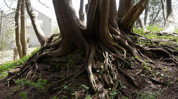 Canada Ontario Photos :: Elora :: Tree Roots along Elora Gorge Trail