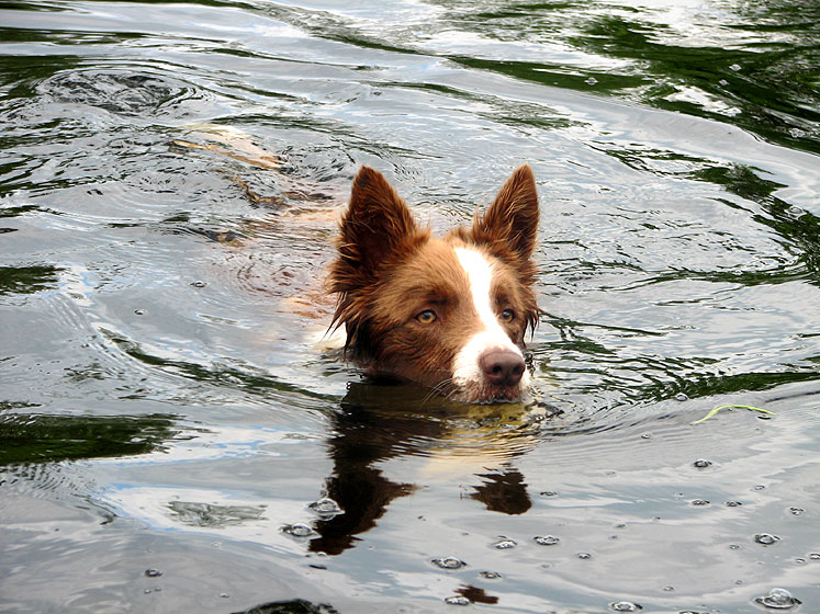 Canada Ontario Photos :: Haliburton :: Haliburton - a swimming dog
