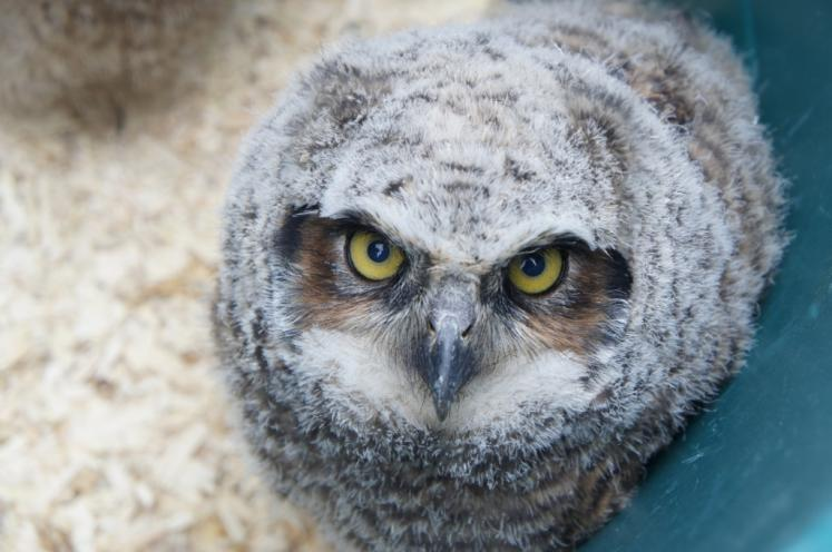 Canada Ontario Photos :: Kitchener :: Baby Great Horned Owl Earth Day at Kitchener Huron Natural Area