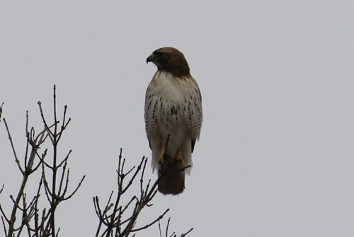 Canada Ontario Photos :: WBignell :: Ontario. Red Tailed Hawk
