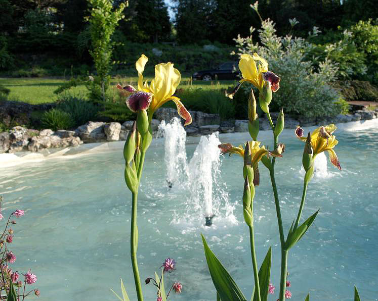 Canada Ontario Photos :: Kitchener :: Irises in front of fountain located Rockway Gardens Kitchener