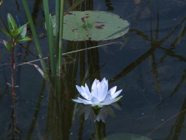 World Travel Photos :: Flowers :: Manitoulin island - water lilly