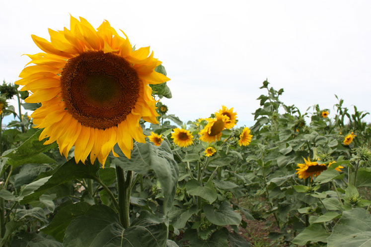 Canada Ontario Photos :: Misc :: A big sunflower at the farm