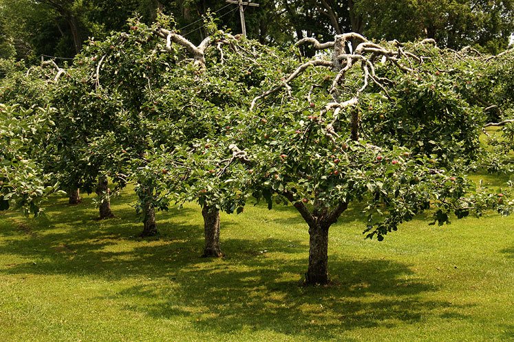 Canada Ontario Photos :: Misc :: Apple trees