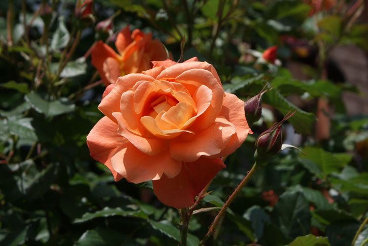 Canada Ontario Photos :: Dragisa :: Beautiful Rose in Mississauga