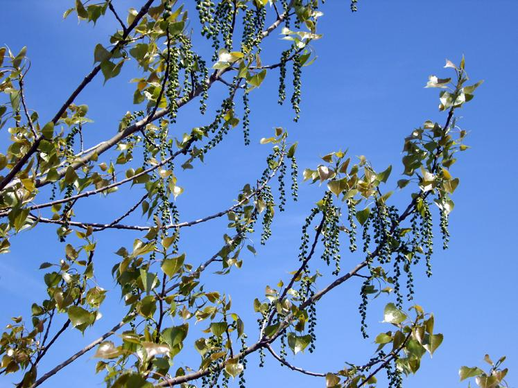 Canada Ontario Photos :: Misc :: Ontario. Birch tree in spring