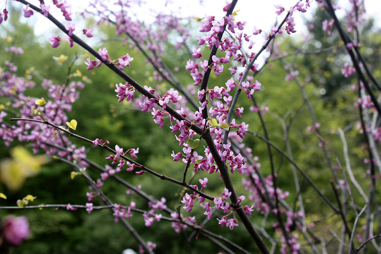 Canada Ontario Photos :: Torontonian :: Dundas Valley  Conservation Area - a blooming tree