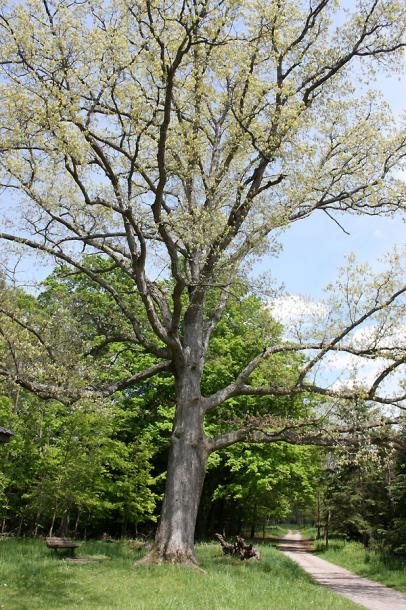 Canada Ontario Photos :: Misc :: Dundas Valley Park - an oak tree
