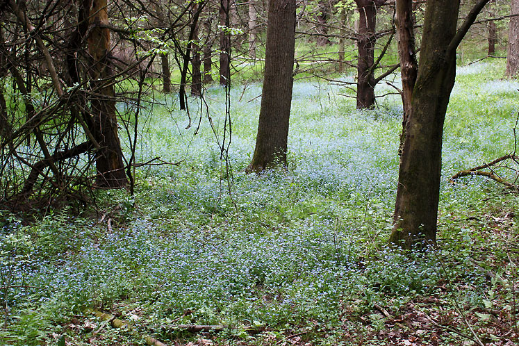 World Travel Photos :: Flowers :: Ontario. Dundas Valley Park - forget-me-nots