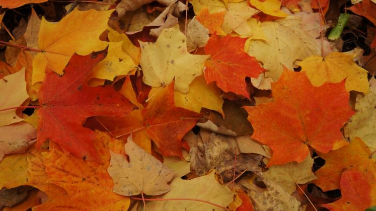 Canada Ontario Photos :: Misc :: Fall leaves Baden