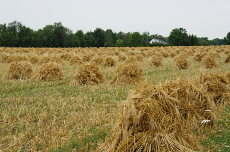 Canada Ontario Photos :: Misc :: Field of Wheat Stooks hand done by Mennonites Crosshill