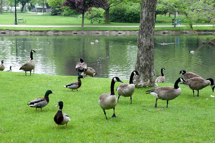 Canada Ontario Photos :: Kitchener :: Too Many Geese in Victoria Park Kitchener