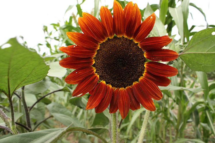 Canada Ontario Photos :: Misc :: On the Farm - a red sunflower