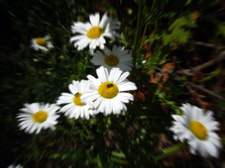 World Travel Photos :: Flowers :: Ontario. Daisies