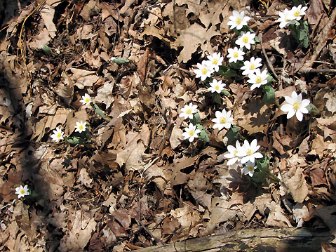 Canada Ontario Photos :: Spring :: Ontario. Early spring - first flowers