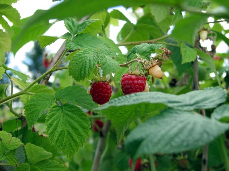 Canada Ontario Photos :: Misc :: Rasberries at Whittamore Farm