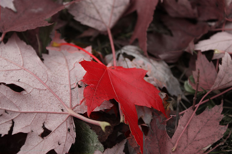World Travel Photos :: Colors - Rouge :: Ontario - Red leaf