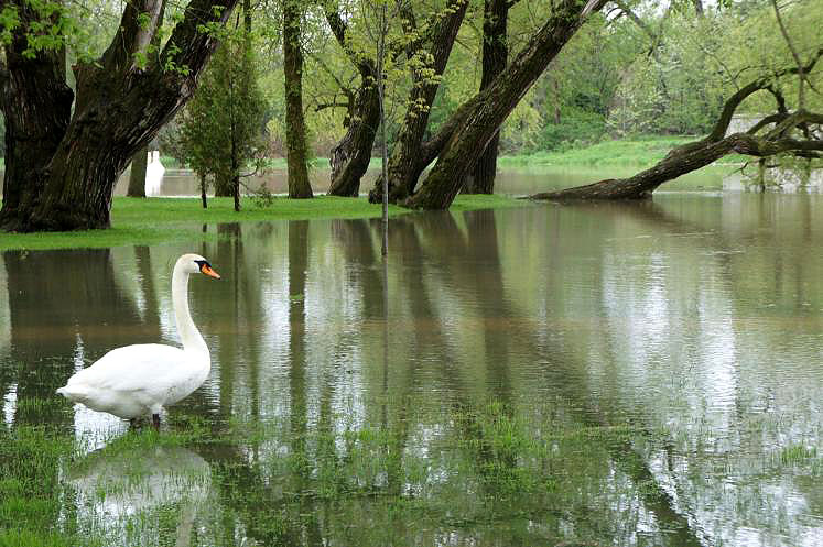Canada Ontario Photos :: New Hamburg :: Swan on the flooded Nith River New Hamburg