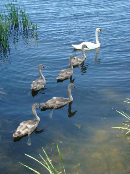 World Travel Photos :: Animals :: Ontario. Swans with baby Cynets on Nottawasaga Bay Collingwood