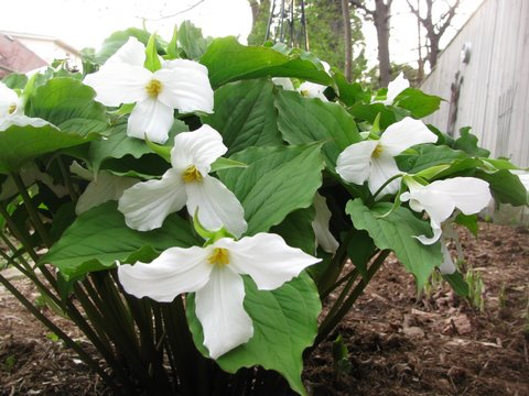 Canada Ontario Photos :: Nature :: Trilliums National Flower Emblem of Ontario