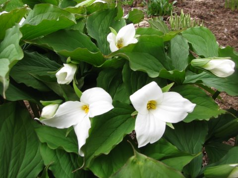Canada Ontario Photos :: Misc :: Trilliums in the woods, National Flower Emblem of Ontario