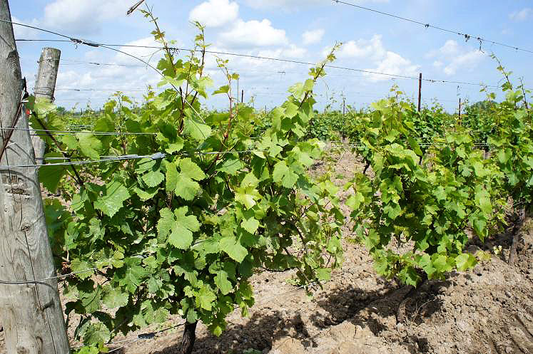 Canada Ontario Photos :: Misc :: Wine Grape Vines Stoney Ridge Cellars Jordan