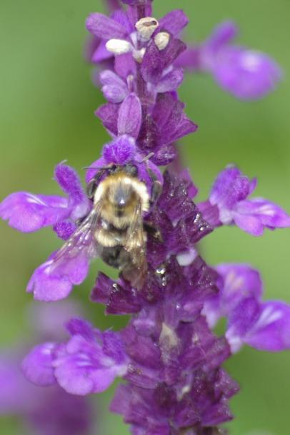Canada Ontario Photos :: Cindy Rose :: Bee on purple flower